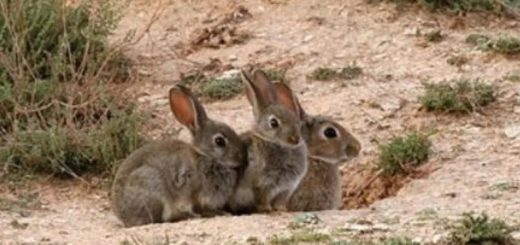 Polémica en Ushuaia por la intención de erradicar conejos silvestres con gas fosfina