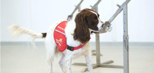 Evalúan el adiestramiento de canes para detectar personas con covid-19