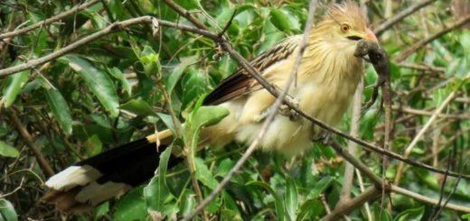 """El popular """"Pirincho"""", un ave muy sociable, cooperativo y protector de su bandada"""