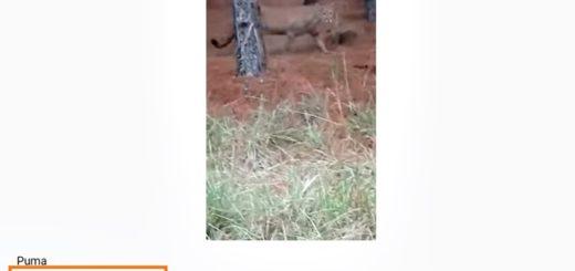 Es falso el video del puma que aparentemente fue visto en Ituzaingó