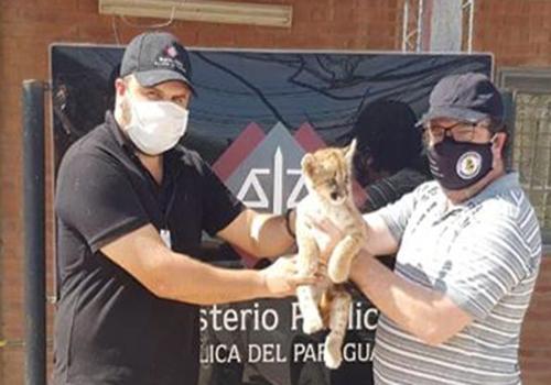 Paraguay: Fiscalía de Delitos Ambientales rescata a cachorro de puma que era ofrecido para la venta a través de WhatsApp