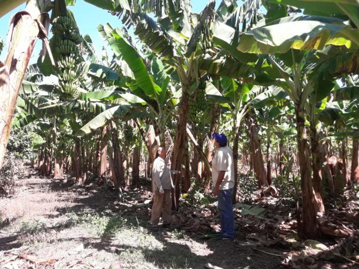 Grave crisis para los productores de bananas, deben vender 50 kilos para comprar uno de carne