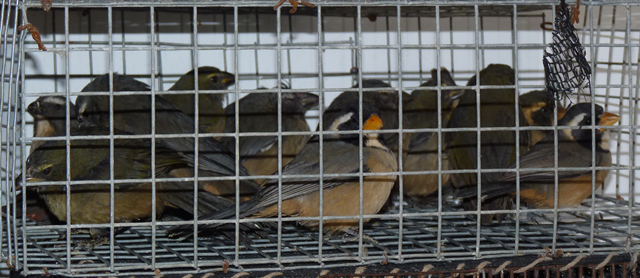 """Aves Argentinas: """"El tráfico ilegal de fauna silvestre está llevando a muchas especies de aves a la extinción"""""""