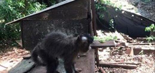 Vecinos de Oberá denuncian que una familia tiene de mascota a un mono en mal estado