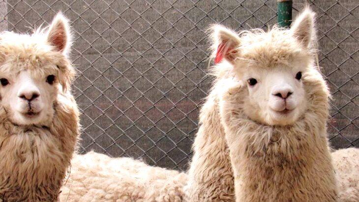 Las alpacas pueden contribuir a frenar el Covid-19 como una variable antes de poder crear una vacuna