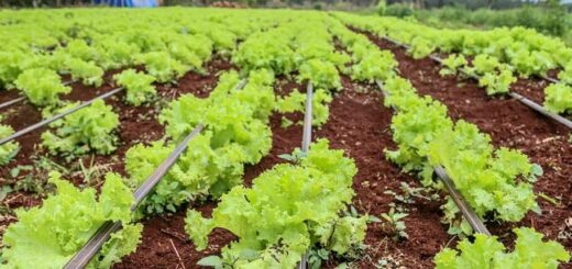 Coronavirus: en Eldorado las cocinas centralizadas preparan los almuerzos con verduras de los productores locales