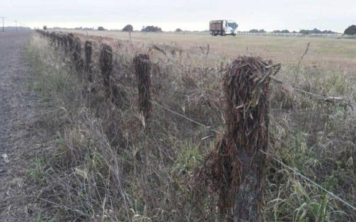 Una invasión de langostas genera preocupación en Corrientes