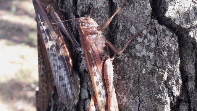 Alertan por millones de plagas de langosta que invadieron zonas rurales de Santa Fe, Formosa, Chaco y Corrientes