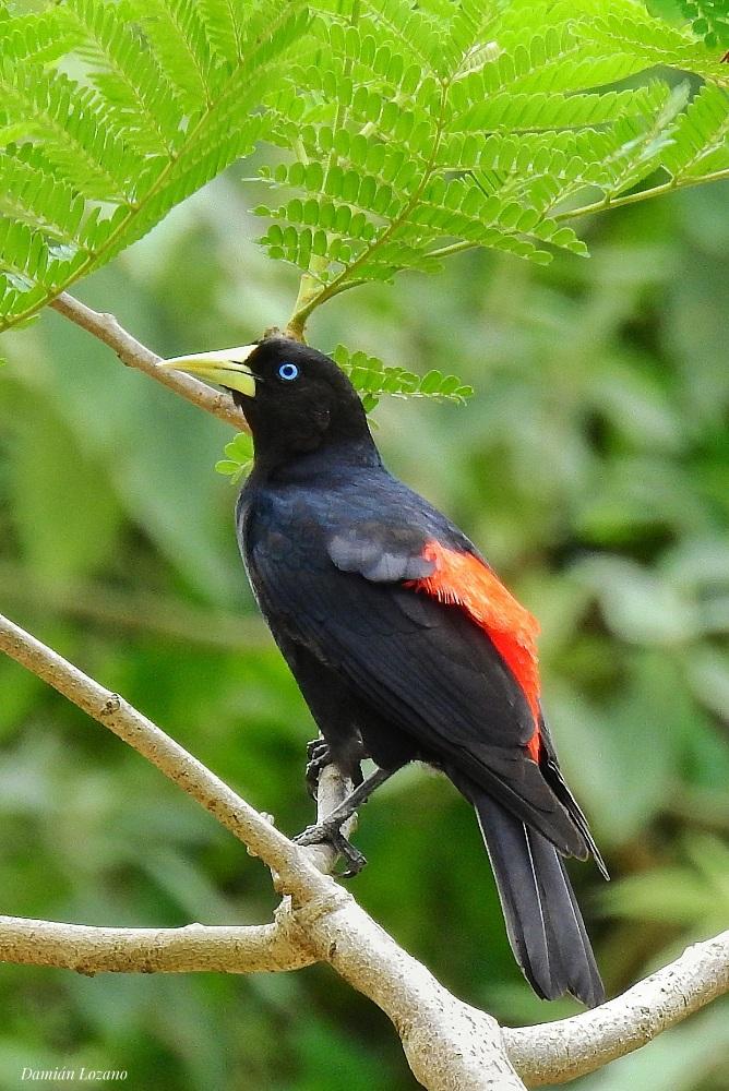 El Boyero Cacique, una de las aves destacadas de la Selva Misionera