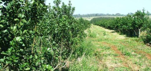 El Inym relevará plantaciones para evitar desacoples entre la oferta y la demanda de yerba