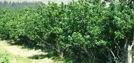 Productores y molineros acordaron iniciar relevamiento de plantaciones de yerba mate