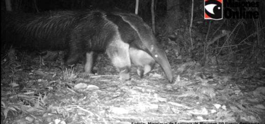 Biodiversidad: por primera vez registran un oso hormiguero en el PP Puerto Península, una especie amenazada y declarada por ley Monumento Natural de Misiones