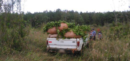 Lo sorprendieron cosechando yerba mate de manera ilegal y fue detenido