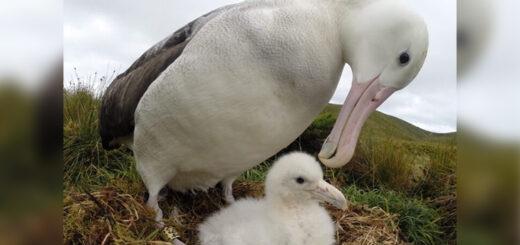Albatros, las aves más grandes del mundo y en peligro de extinción, celebran por primera vez su día mundial
