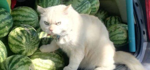 """Viral: un gato """"supervisa"""" a recolectores de sandías y se convierte en tendencia en las redes"""