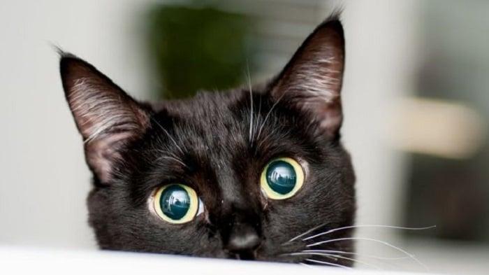 Día Mundial del Gato: la importancia del banco de sangre felino