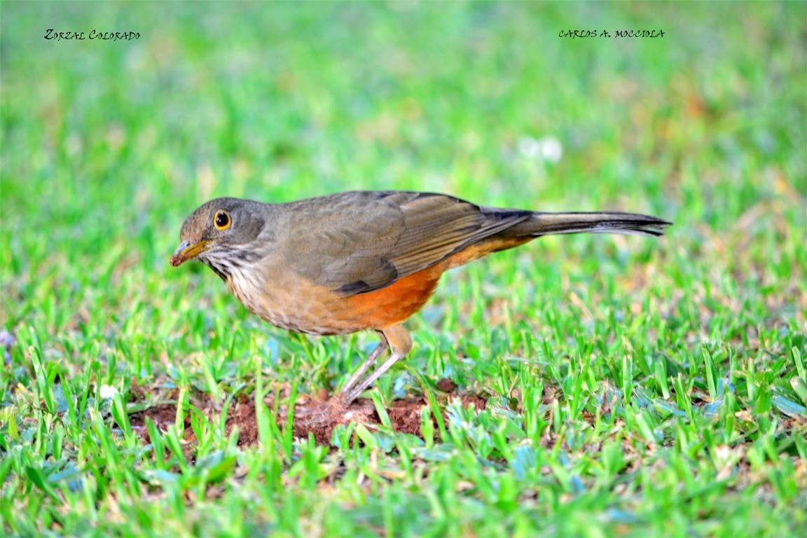 Especial de Aves de la Argentina: en el Mes de la Amistad, te regalamos una colección de más de 50 especies que habitan en el Bosque Atlántico para que lo disfrutes y compartas