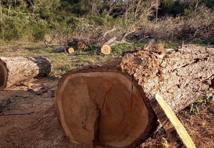 Ecología constató extracción ilegal de madera de un Lapacho Negro en Cerro Corá, una especie monumento natural en Misiones