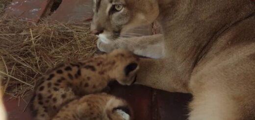 Tres cachorros de Puma nacieron en un zoológico de Encarnación