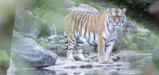 Un tigre siberiano mató a su cuidadora frente a los visitantes en un zoológico de Zurich