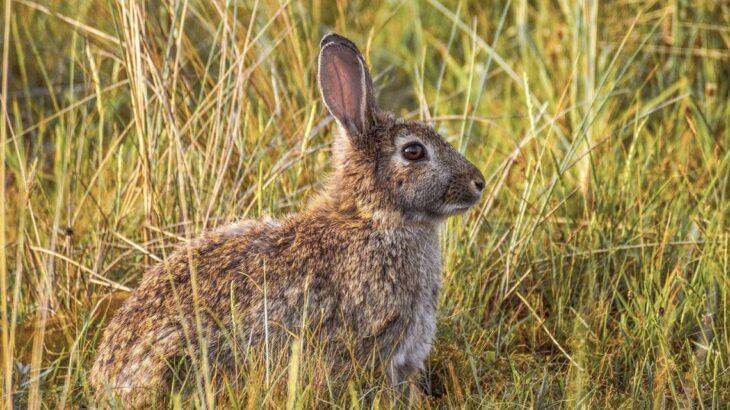 Un virus mortífero se propaga entre los conejos en Estados Unidos y México