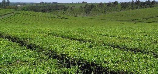 Exportaciones de té
