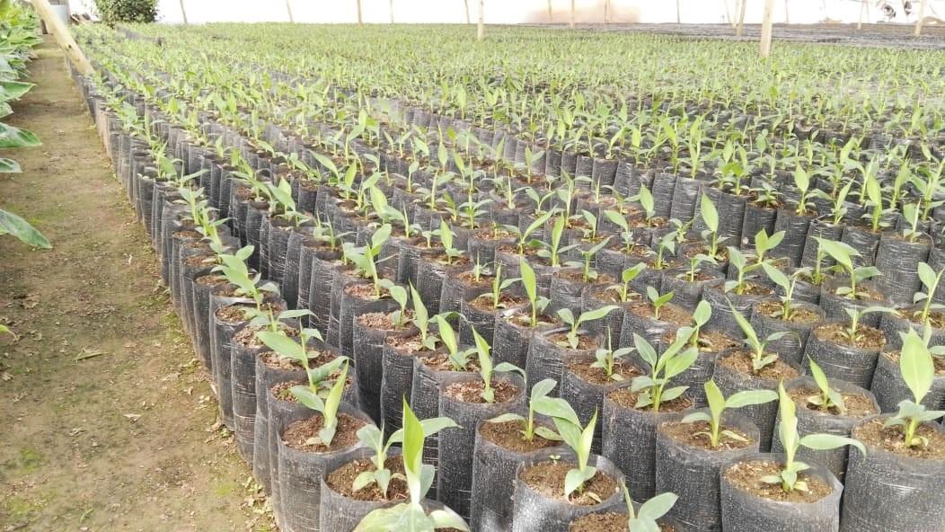 Biofábrica mantiene la provisión de plantines frutales al Noa