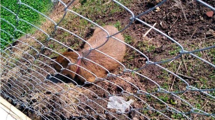 Un carpincho fue hallado atado en el patio de su casa, fue liberado en una reserva