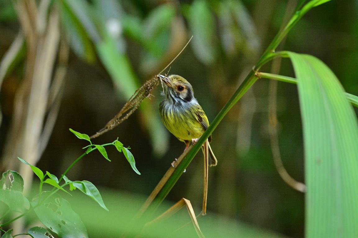 Aves de la Selva Misionera: la mosqueta enana, una miniatura casi exclusiva del Bosque Atlántico