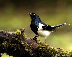 El inconfundible y llamativo Frutero overo sorprende en la Selva Misionera
