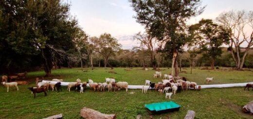 El IFAI evalúa los créditos a productores ovinos con miras al primer remate del año con animales 100% misioneros