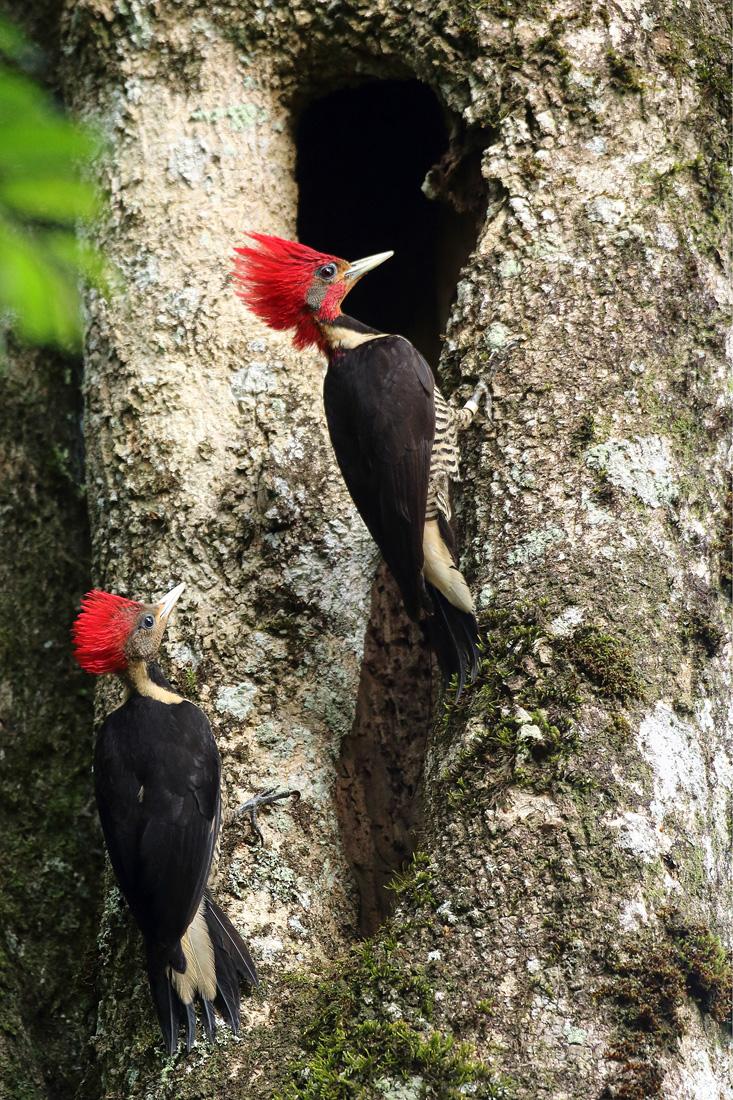 """Aves de la Selva Misionera: el Carpintero Cara Canela, el más raro de los tres """"copetes colorados"""""""