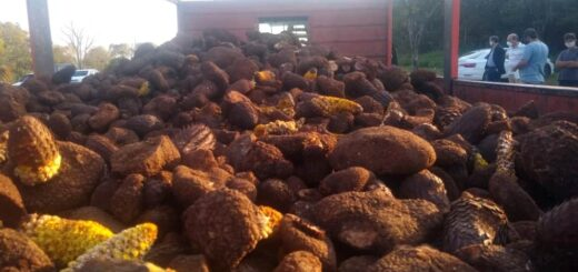 """Ecología: retienen una carga ilegal de 3.500 kilos de """"flor de piedra"""", una planta de alto valor para la biodiversidad misionera"""