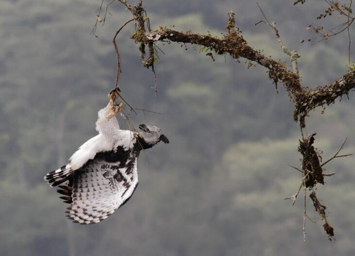 Aves Argentinas: la Harpía, águila enorme y bella, declarada Monumento Natural de Misiones, dejó de avistarse en la provincia