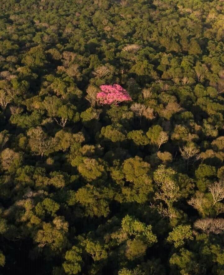 Lapachos en flor engalanan los paisajes misioneros