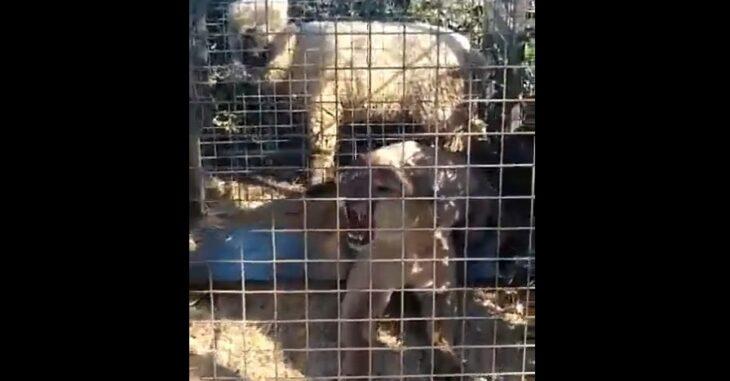 Video: con una trampa atraparon a un puma que había matado 30 ovejas de un criador…El debate…