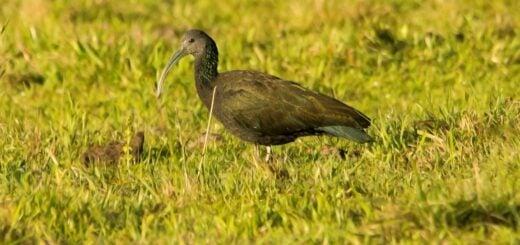 La asustadiza Tapicurú, con sus largas plumas iridiscentes atraen la mirada en la selva misionera
