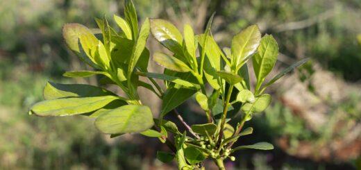 En octubre y noviembre rige la suspensión de cosecha y secanza de yerba mate