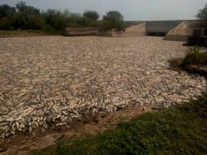 Formosa: murieron millones de peces en áreas del humedal del Bañado La Estrella consecuencia de la sequía y el cierre de una de las compuertas de la represa
