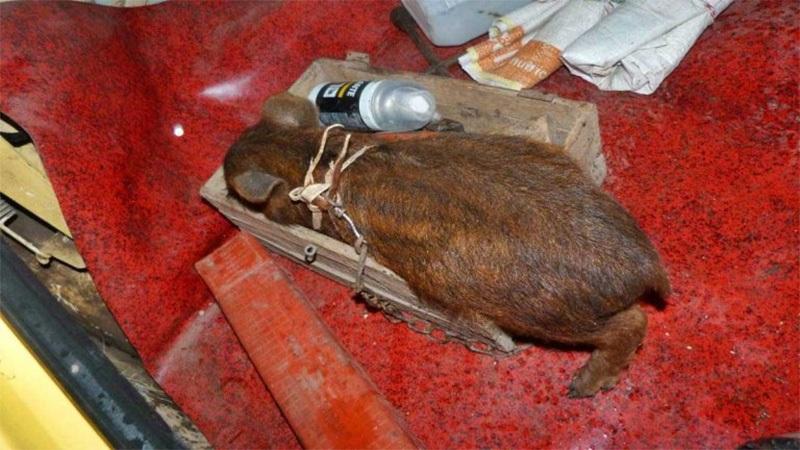 Cazadores llevaban crías de jabalí y carpincho en una mochila, fueron detenidos