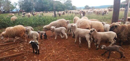 Tranqueras abiertas virtuales: capacitaron a productores ovinos de la Zona Sur en parto seguro y cuidados del recién nacido