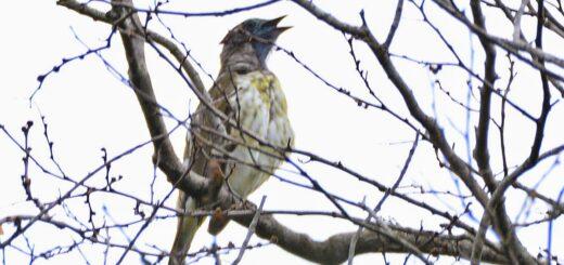 Conocé la historia del Pájaro Campana y su característico repicar en la Selva Misionera