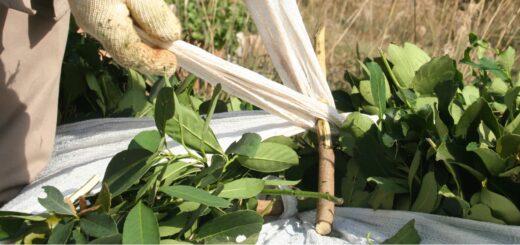 El INYM habilitó el registro de plantas de acopio de hoja verde