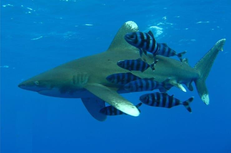 Un tiburón le arrancó el brazo de un nene de 12 años y la pierna de un guía turístico