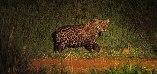 """El Yaguareté o Jaguar, el felino en extinción y """"espíritu de la Selva"""", forma parte de una investigación especial de National Geographic en América del Sur"""