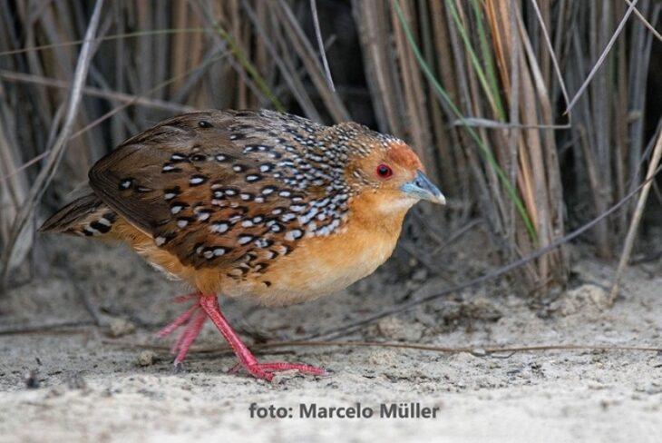Descubren en territorios de pastizales de la Reserva Federal Campo San Juan una nueva especie de ave para la Argentina, el Burrito Ocelado