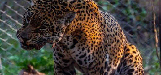 Tania y Quaramtá juntos en Parque Nacional El Impenetrable, un encuentro esperado para la preservación del yaguareté