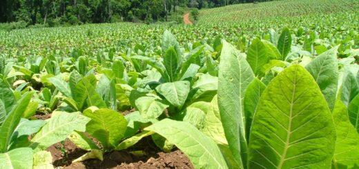 El impacto de la sequía sobre la producción fue el tema de una reunión entre entidades tabacaleras y funcionarios