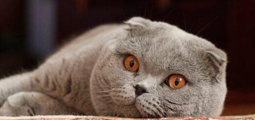 aplicación para traducir lo que dicen los gatos