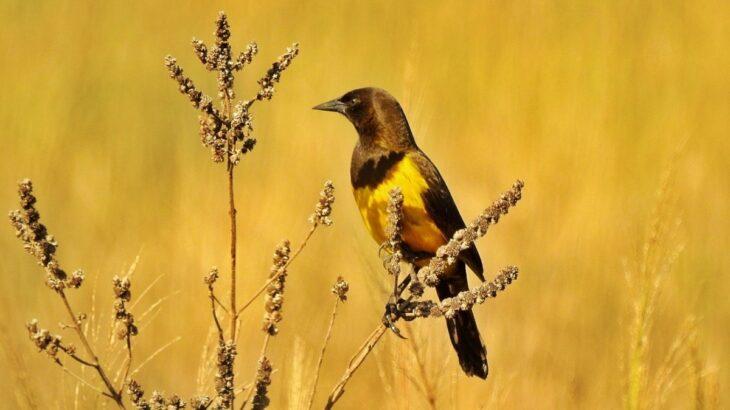 Pecho amarillo grande, un ave centinela colorido en los pastizales misioneros